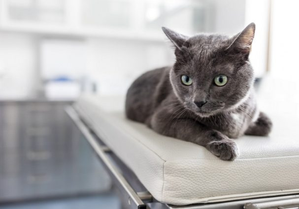 Closeup of Russian blue cat lying on bed at veterinary clinic