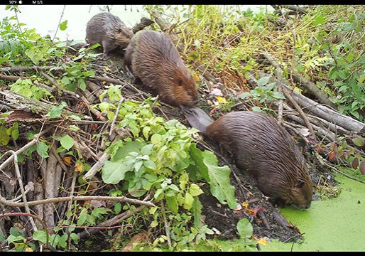 2 beavers crawling off their dam into the water