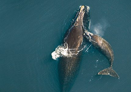 Northern Right Whale mother & calf (Eubalaena glacialis) off Atlantic coast of Florida. Aerial views..